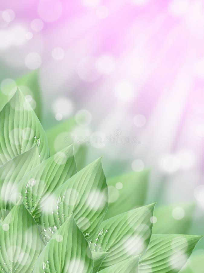 O hosta tropical verde sae com o fundo ensolarado do bokeh do sumário do rosa da mola fotografia de stock