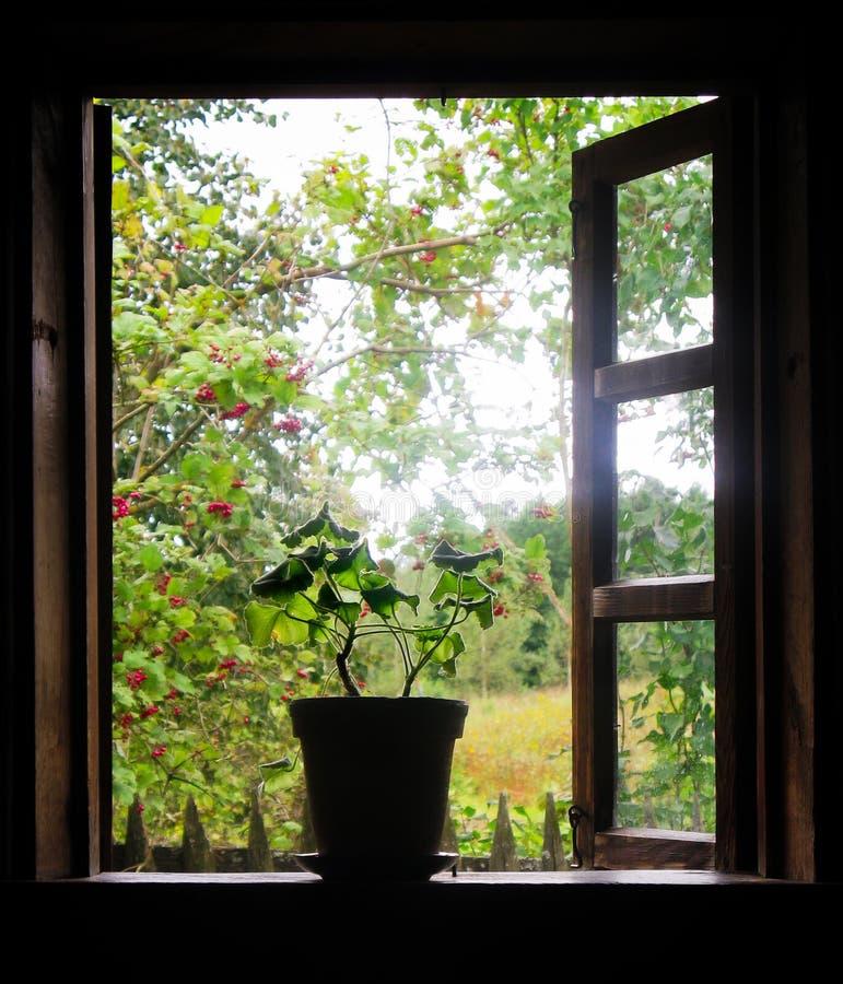 o houseplant em um potenciômetro de argila está no peitoril de madeira da janela imagem de stock
