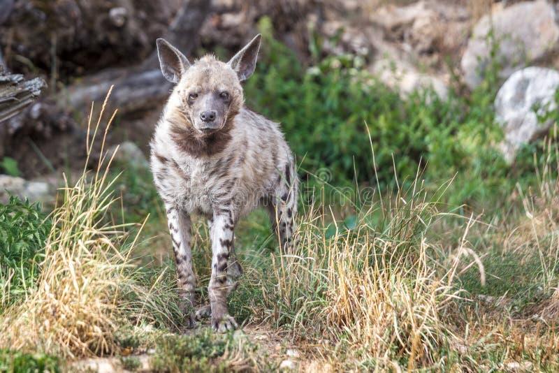 O hyaena de Hyaena da hiena listrada fotografia de stock