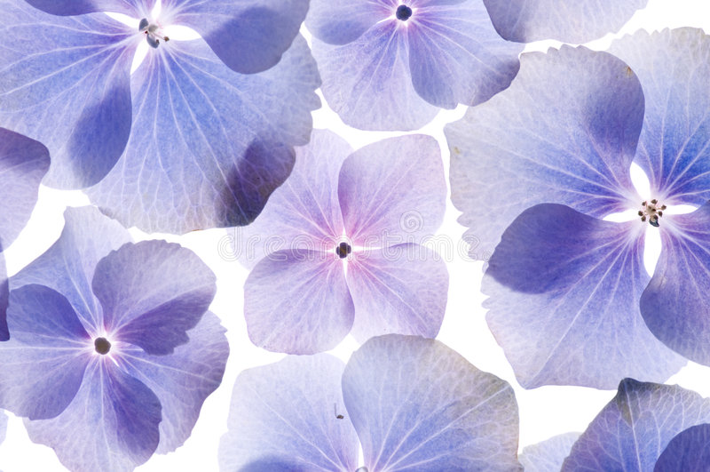 O Hydrangea floresce o fundo fotos de stock royalty free
