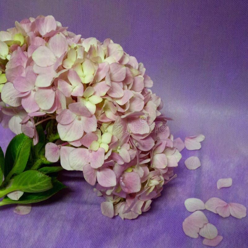 o hydrengea floresce a flor imagens de stock royalty free