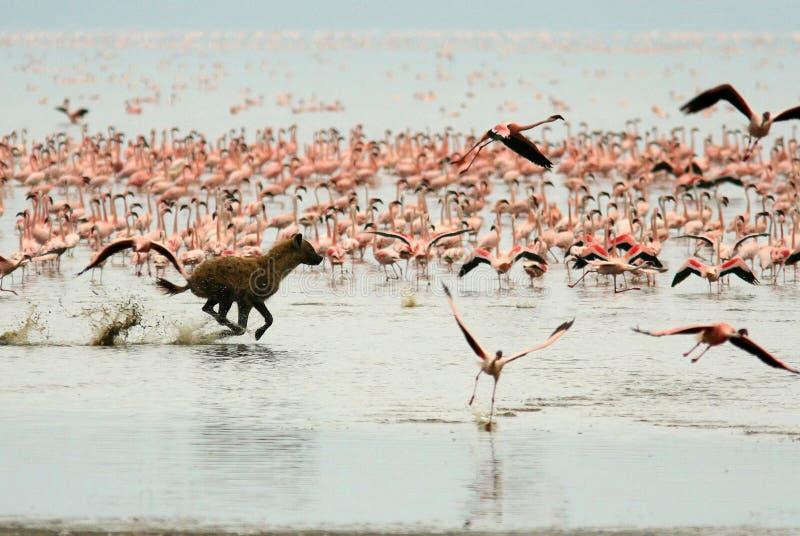 O Hyena está caçando para flamingos imagens de stock