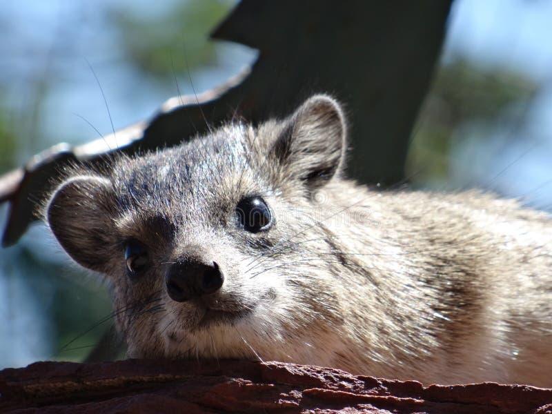 O hyrax bonito em África enfrenta o close-up imagens de stock
