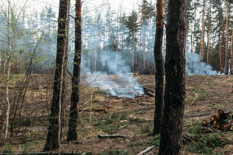 O incêndio florestal, árvores vistas queima-se e fuma-se após o desflorestamento de madeira, destruição de árvores coníferas imagem de stock