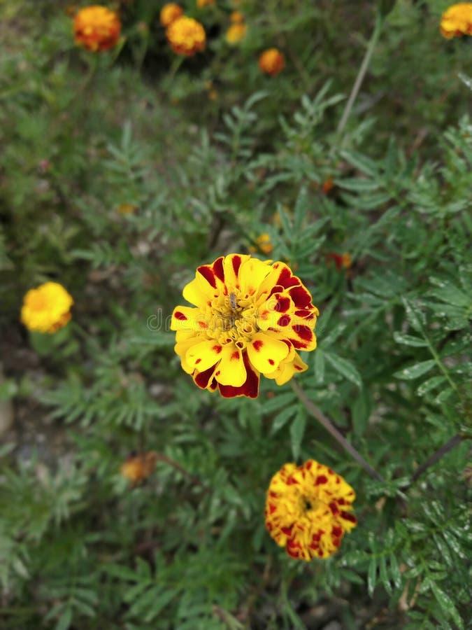 O indiano das flores floresce-o é um butifull mesmo fotos de stock