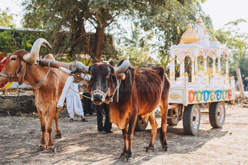 O indiano decorou o touro para o festival de Sankranthi imagem de stock royalty free