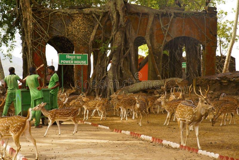 O indiano manchou a linha central chital ou cheetal dos cervos da linha central em Ross Island, Andaman foto de stock royalty free