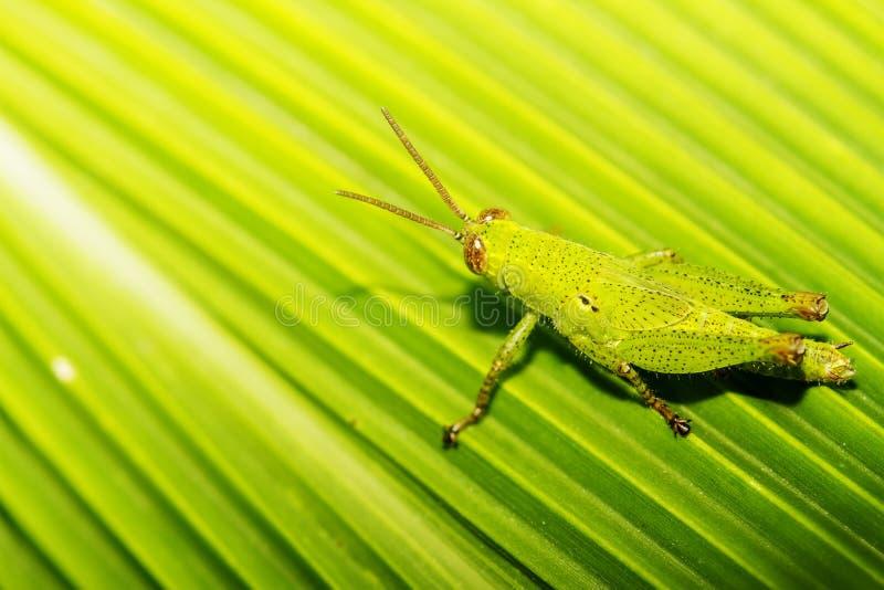 O inseto foi mascarado na cor verde das folhas da planta fotografia de stock royalty free