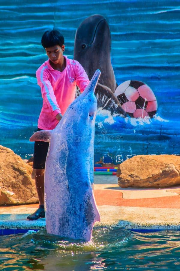 O instrutor está ensinando o golfinho às mostras de salto imagens de stock royalty free