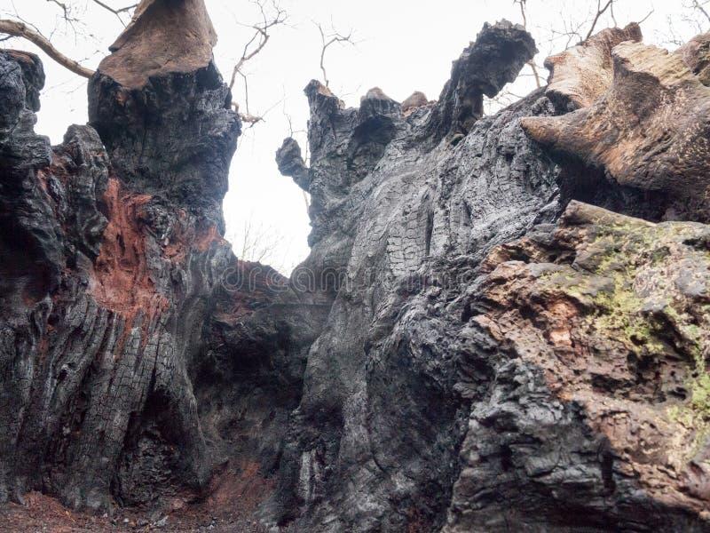 o interior do fim acima queimou a textura do carvão vegetal da casca da árvore após o fogo d foto de stock royalty free