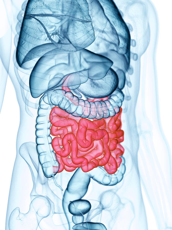 o intestino delgado ilustração royalty free