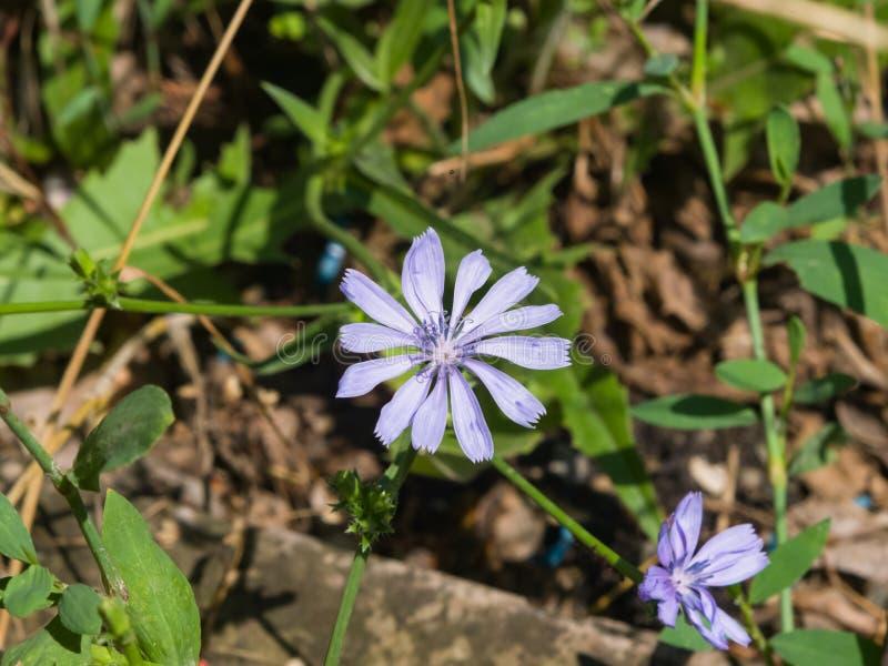 O intybus comum da chicória ou do Cichorium floresce o close-up, foco seletivo, DOF raso foto de stock royalty free