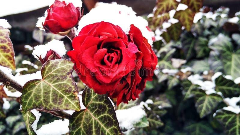 O inverno levantou-se fotos de stock