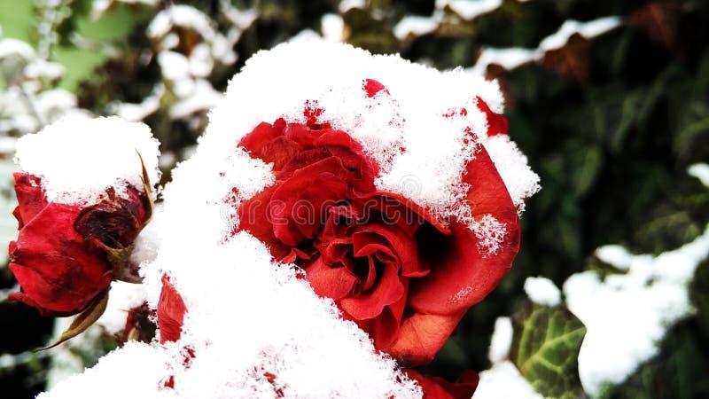 O inverno levantou-se fotografia de stock