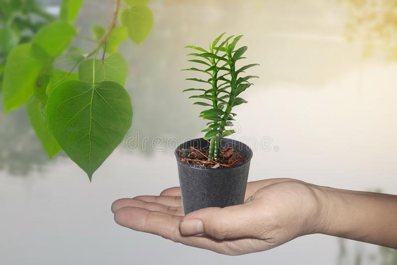 O isolado da mão guarda pouca árvore em uma chamada pequena Bandai Ngaen do potenciômetro como a árvore da escada do dinheiro imagens de stock royalty free