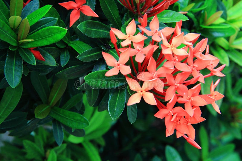 O Ixora fotos de stock royalty free