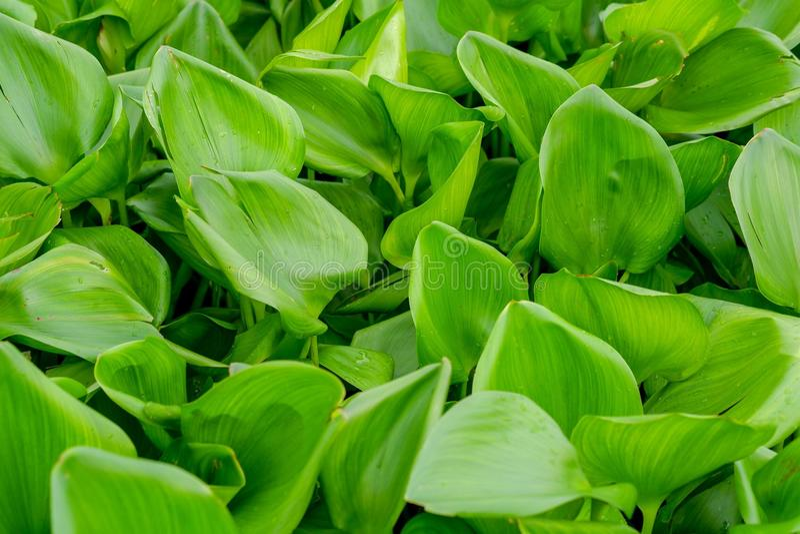 O jacinto de água planta as folhas verdes foto de stock