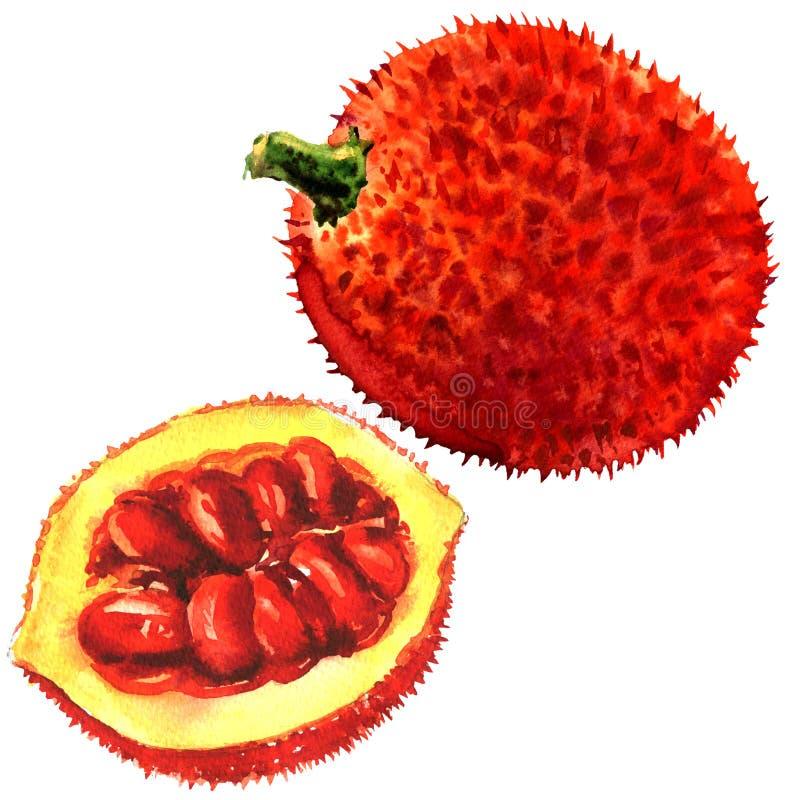 O Jackfruit do bebê, Gac frutifica, cabaça amarga espinhoso, Grourd doce, cabaça de Cochinchin, fruto isolado, ilustração da aqua ilustração royalty free