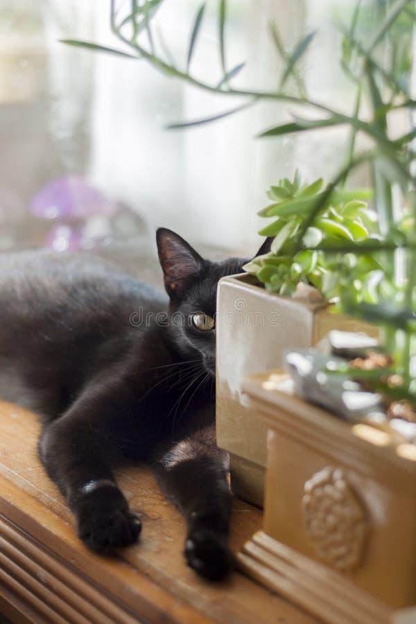 O jade animal do gato preto floresce a planta carnuda foto de stock royalty free