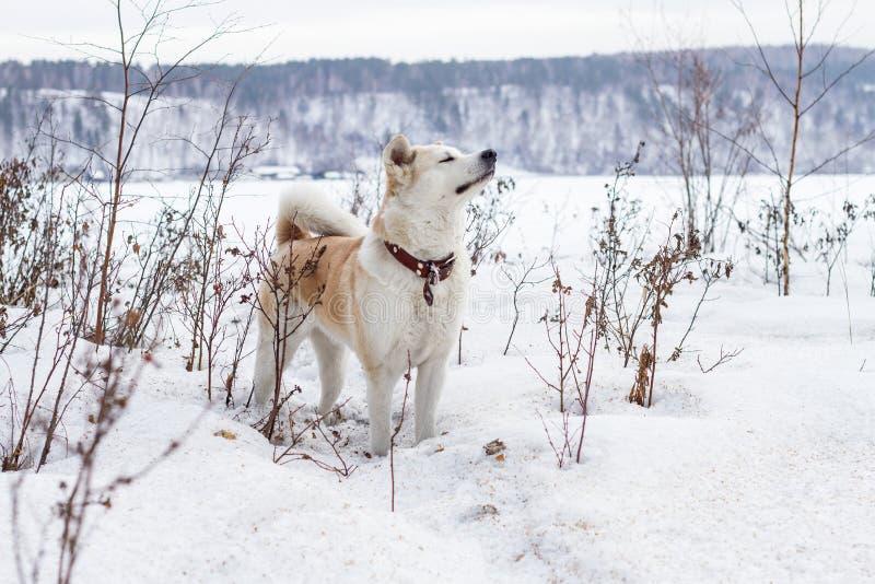 O japonês inteligente bonito Akita Inu do cão está em um campo coberto de neve com olhos fechados e aspira o ar em um fundo da mo foto de stock