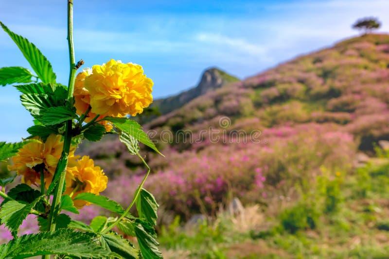 O japonica de Kerria, as flores amarelas douradas floresce em torno do monte fotografia de stock