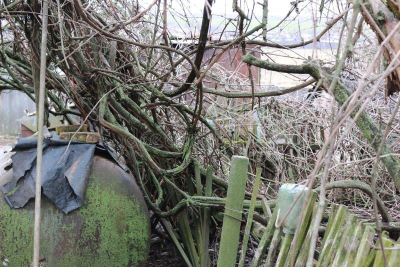 O jardim abandonado Uvas cobertos de vegetação A videira no musgo fotos de stock