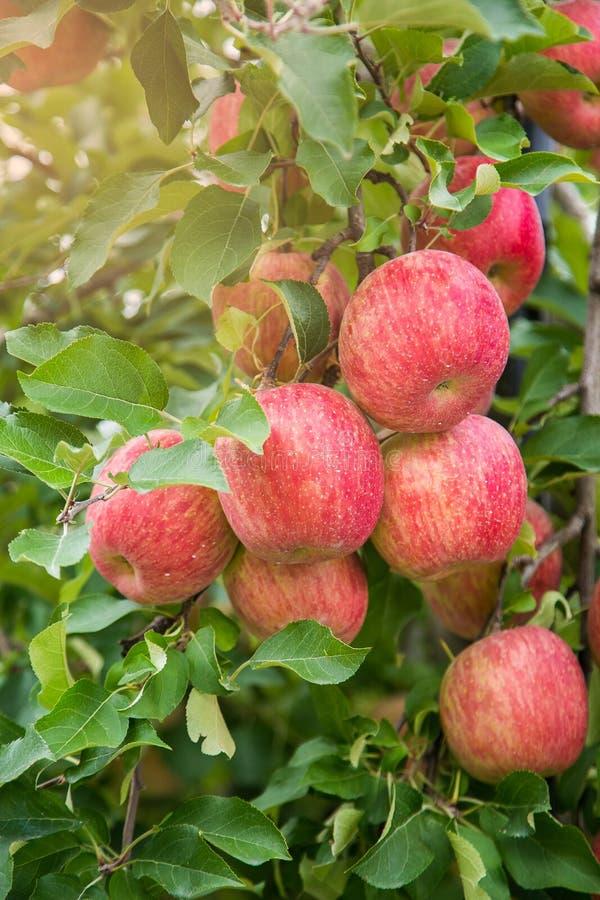 O jardim Apple cultiva no Tóquio em Japão imagens de stock