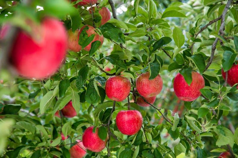 O jardim Apple cultiva no Tóquio em Japão imagens de stock royalty free