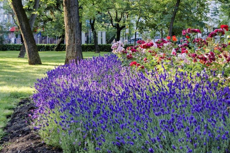 O jardim de florescência com alfazema e aumentou na mola imagem de stock