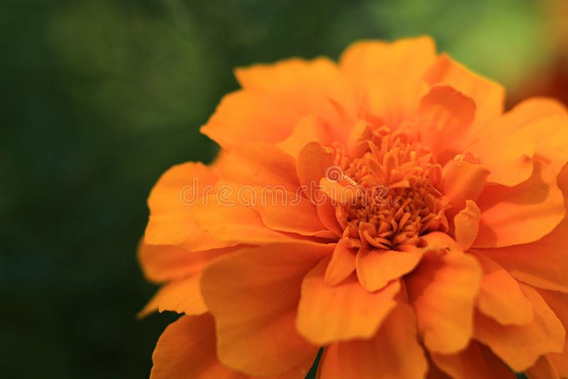 O jardim de Makro do cravo-de-defunto floresce o verão alaranjado da cor verde da cor foto de stock royalty free