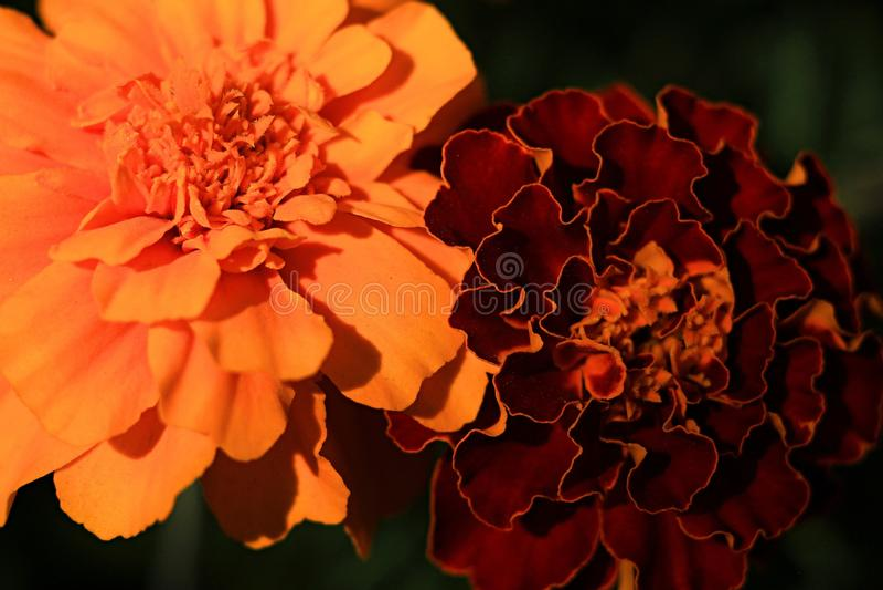 O jardim de Makro do cravo-de-defunto floresce o verão alaranjado da cor verde da cor imagem de stock