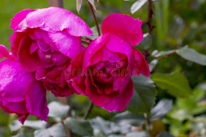 O jardim de rosas aumentou foto de stock