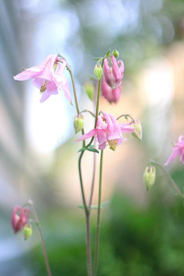 O jardim floresce o verão cor-de-rosa da cor verde da cor fotografia de stock
