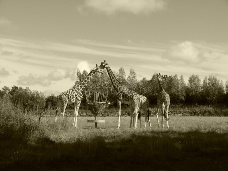 O jardim zoológico do girafa compartilha do alimento junto foto de stock