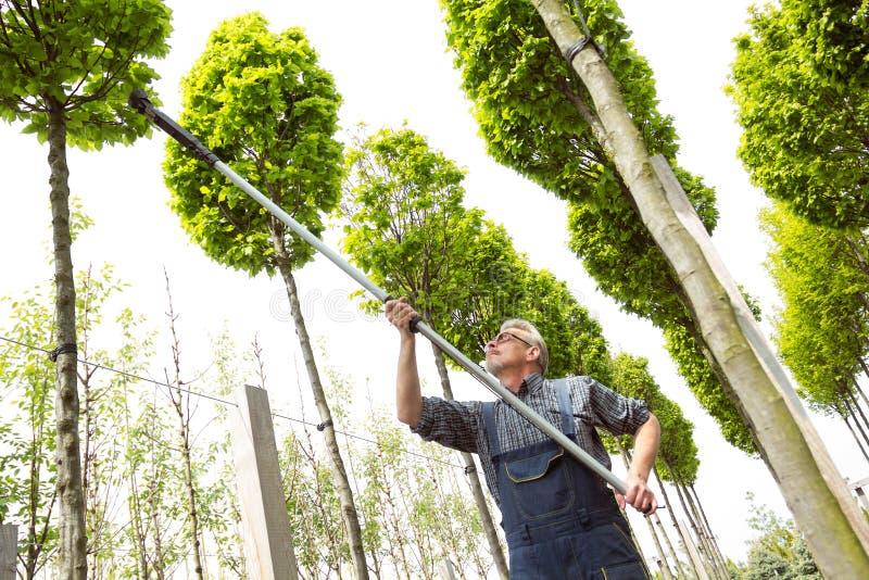 O jardineiro corta as árvores altas fotografia de stock royalty free