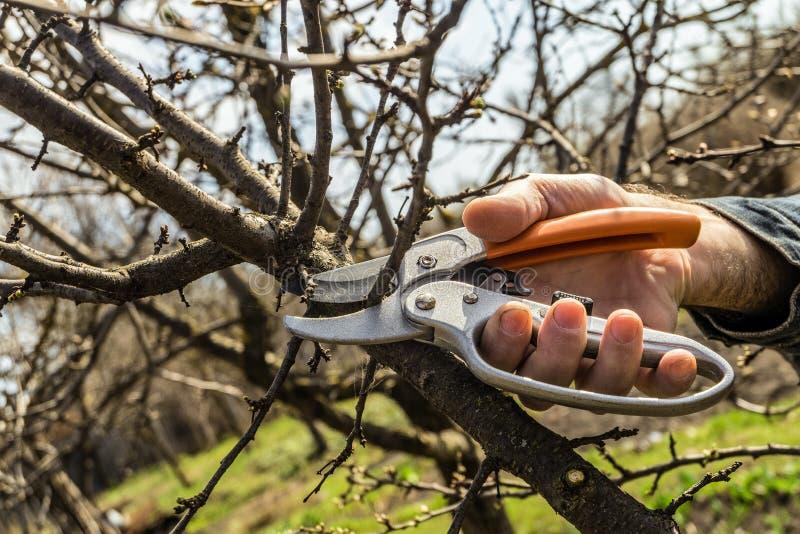 O jardineiro corta os ramos adicionais de poda das tesouras fotografia de stock