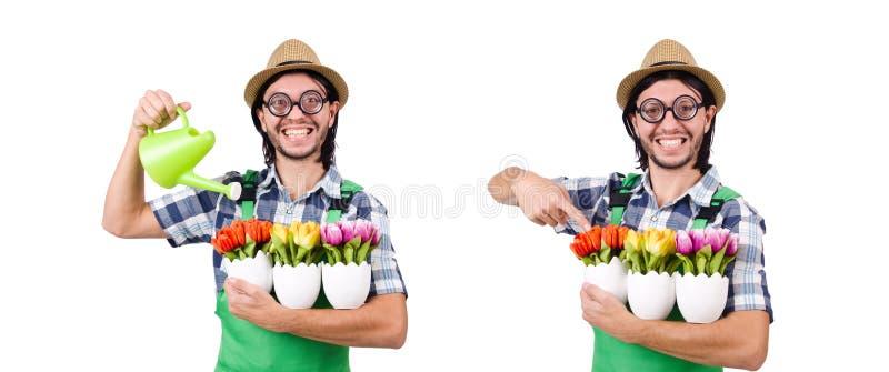 O jardineiro engraçado novo com tulipas e a lata molhando isolou o oin w fotografia de stock royalty free