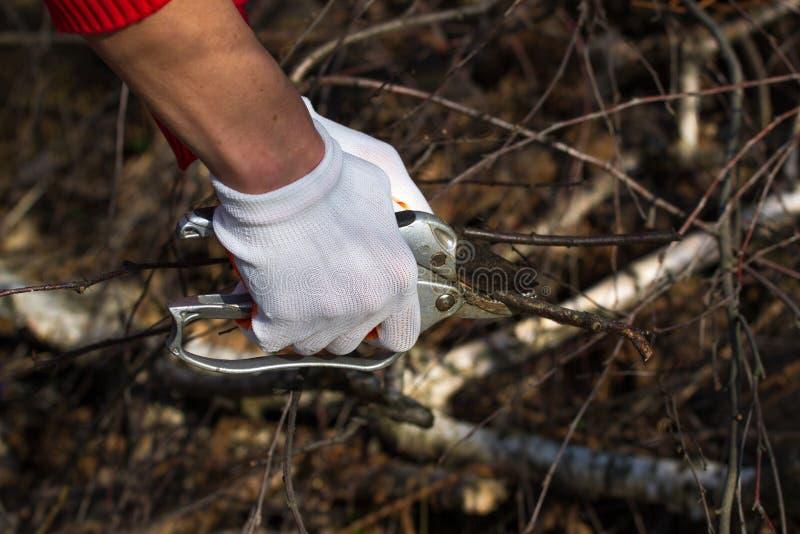 O jardineiro entrega ramos de poda do jardim do cultivar com os secateurs de um jardim no jardim do outono fotografia de stock