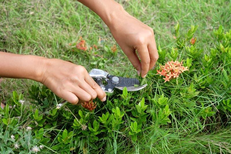 Super O Jardineiro Está Cortando Ixora Podando Tesouras No Jardim Imagem  TR91