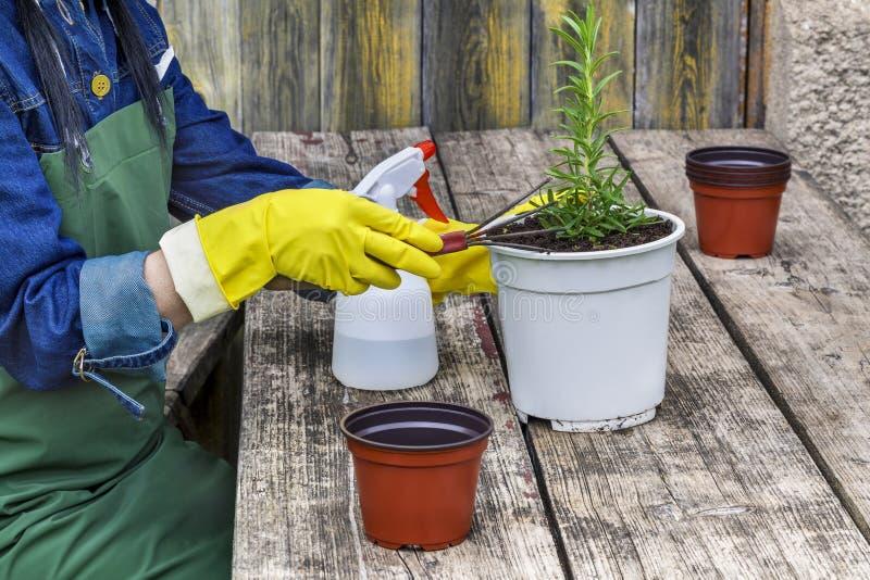 O jardineiro fêmea com potenciômetros aproxima a tabela fotografia de stock