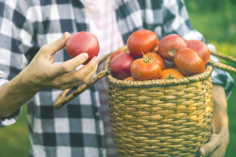 O jardineiro masculino novo do fazendeiro recolhe o tomate na cesta na exploração agrícola ensolarada do verão fotos de stock