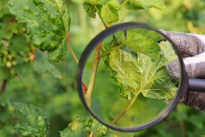 O jardineiro olha através da lupa o dano à planta Folhas do corinto danificadas pela invasão dos afídios imagem de stock royalty free
