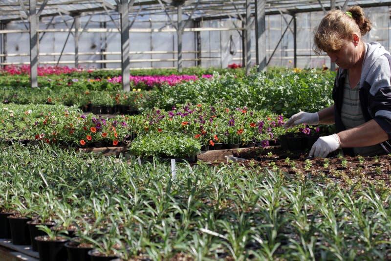 """O jardineiro prepara potenciômetros com flores em uma estufa durante a estação da flor da mola na cidade †de Sófia, Bulgária """"2 imagem de stock royalty free"""