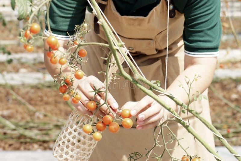 O jardineiro recolhe a rainha dos tomates fotografia de stock