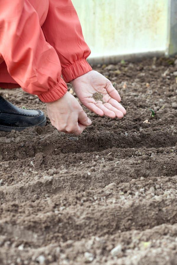 O jardineiro semeia sementes no solo imagem de stock