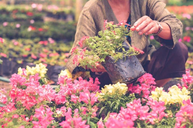 O jardineiro sleceted flores bonitas no preto plástico para a planta no jardim com fundo obscuro verde foto de stock