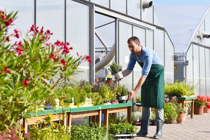 O jardineiro trabalha em um berçário - crescendo e vendendo plantas e flo fotografia de stock royalty free