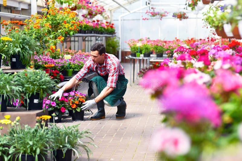 O jardineiro trabalha em uma estufa de um florista foto de stock