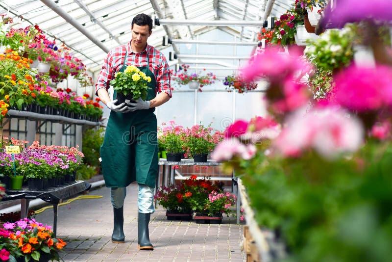 O jardineiro trabalha em uma estufa de um florista fotos de stock