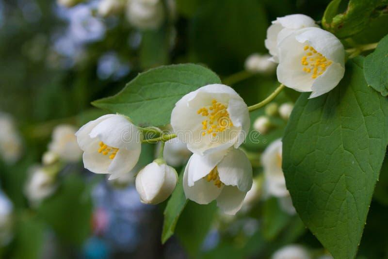 O jasmim bonito floresce com folhas verdes como um fundo fotos de stock royalty free